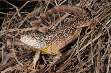 Ctenophorus reticulatus