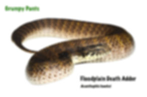 Floodplain Adder, Acanthophis hawkei, floody, venomous, snake, elapid, reptile, cold blooded, pet, herp, Australian reptile, Nature For You