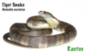 tiger snake, Notechis scutatus, venomous, snake, Australian snake, cold blooded, pet, reptile, herp, Nature For You