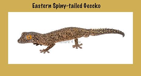 Eastern Spiny-tailed Gecko, Strophurus williamsi, Nature 4 You, gecko, lizard, reptile