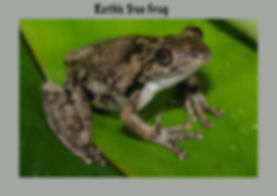 Roth's Tree Frog, Nature 4 You, amphibian, Australian frog