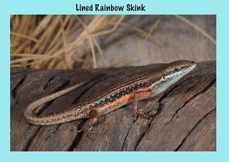 Lined Rainbow Skink, Nature 4 You, lizard, skink, reptile