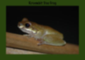 Kroombit Tree Frog, Nature 4 You, Australian Frog
