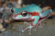 Blue Mountain's Tree Frog, Litoria citropa