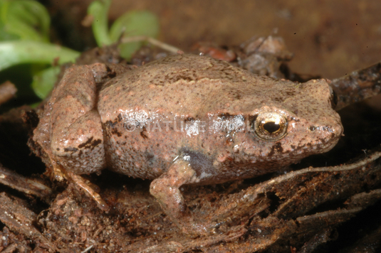 Pouched Frog