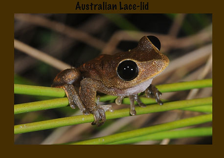 Australian Lace-lid, Nature 4 You, Australian Frog