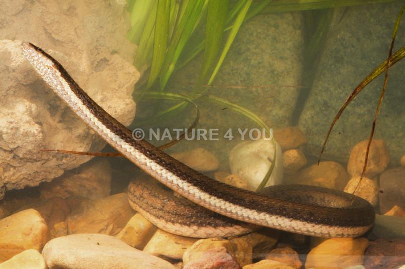 Macleay's Water Snake