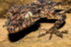 Saltuarius salebrosus, Rough throated leaf tailed gecko, Nature 4 You