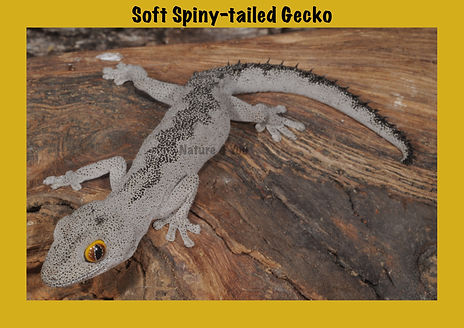 Soft Spiny-tailed Gecko, Nature 4 You, lizard, gecko, reptile