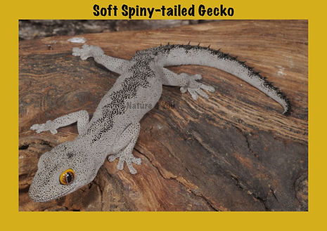 Soft Spiny-tailed Gecko, Nature 4 You, lizard, gecko, reptile