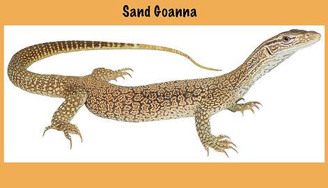 Sand Goanna, Nature 4 You, Sandy, goanna, reptile