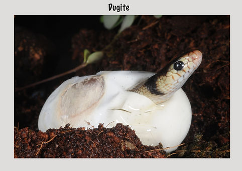Dugite, Nature 4 You, venomous snake, snake hatching from egg, reptile