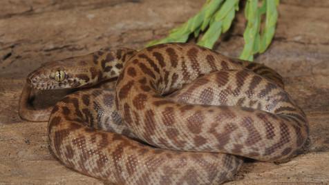 Children's Python,  Antaresia childreni