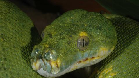 Green Tree Python, Morelia virdis