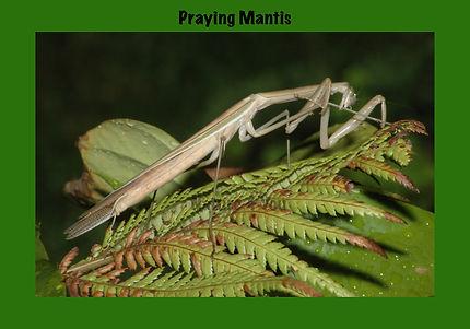 Praying Mantis, Nature 4 You
