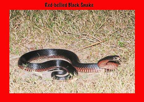 Red-bellied Black Snake, RBB, Nature 4 You, elapid, venomous snake, reptile