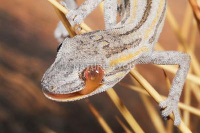 Phasmid Striped Gecko