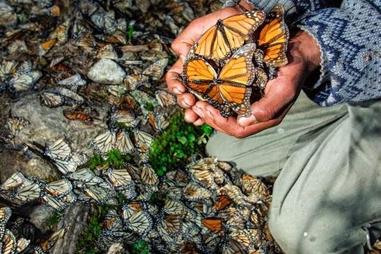 santuario-mariposa-monarca-04.jpg