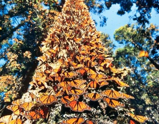 santuarios Mariposa Monarca México Rese