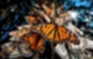 monarca.jpg