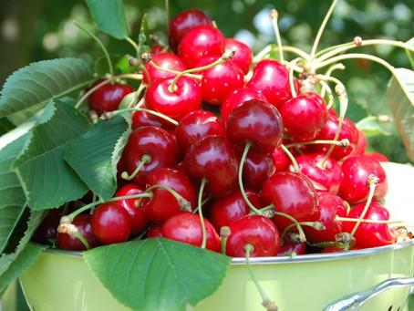 Yamagata Cherries: Yamagata's Pride