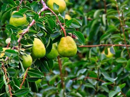 Yamagata La France Pear