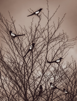 45 - Seven magpies  By Christine Reynolds