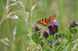 50 - Thistle do for me  By Tony Higginson