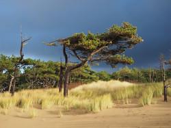 02C;John Houston;Dune Pine