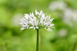 57 - Wild Garlic By Bernie Sulivan