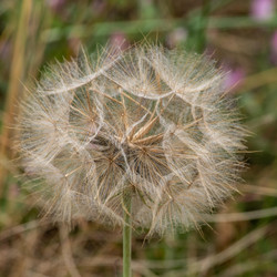 38 - Puff Ball  By Dave Reed