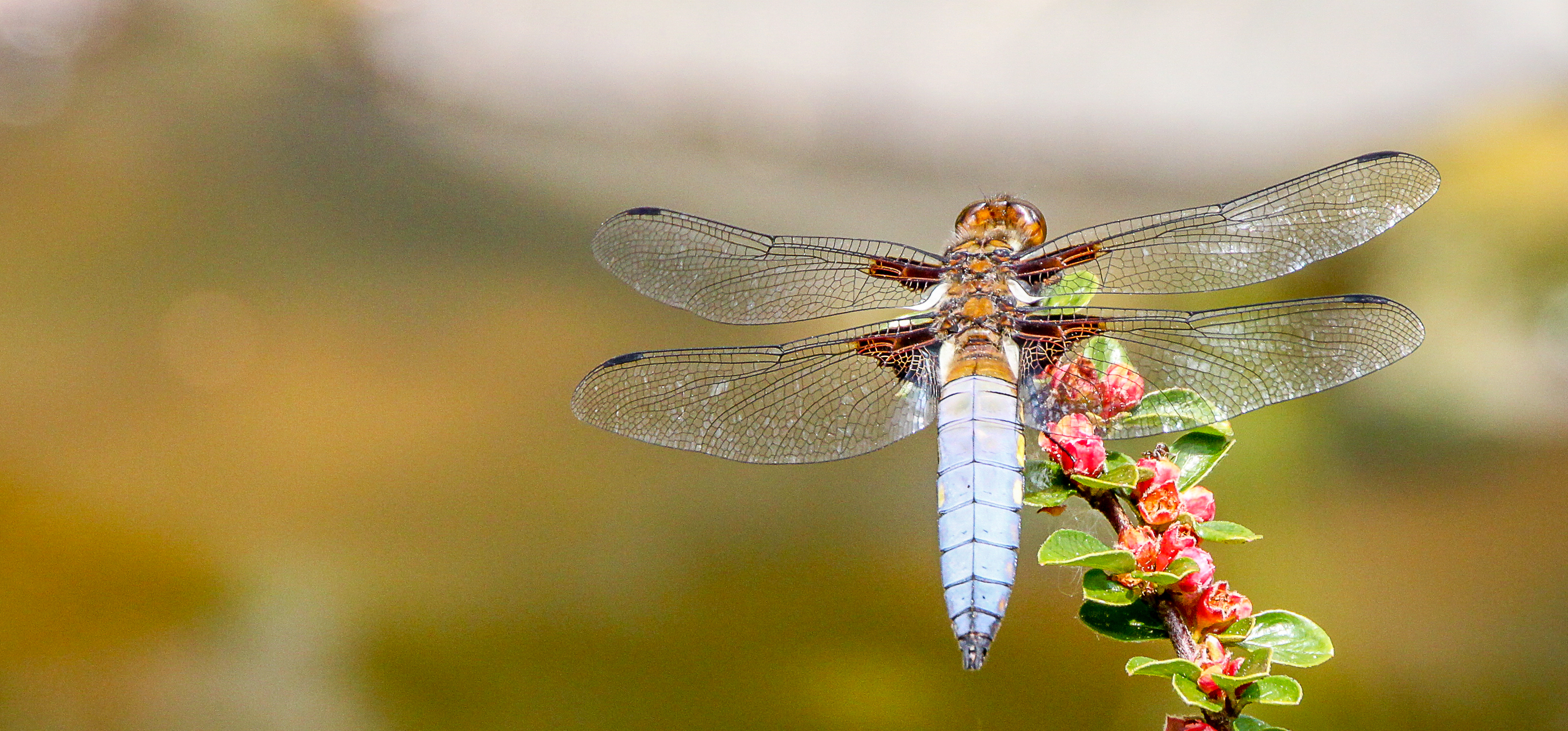 Mike Coleman;Broad bodied  Chaser