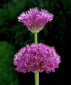 2 - Allium in bloom By Glynn Marsden