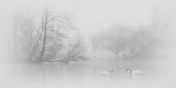 Mono 1st Swans in Freezing Fog