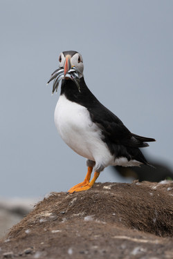 39 - Puffin with sand eels  By Mark Edwards