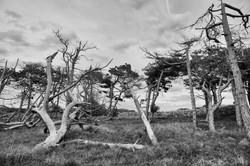 91 - Formby trees By Amanda Scott-Norton