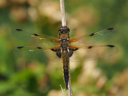 16 - Four Spotted Chaser By John Houston