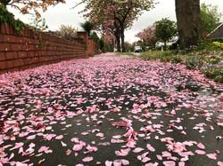 84 - Cherry blossom carpet  By Steph Williamson