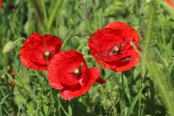 51 - Three Poppies By Roger Walsh