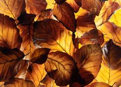 7  - beech leaves  By Christine Reynolds