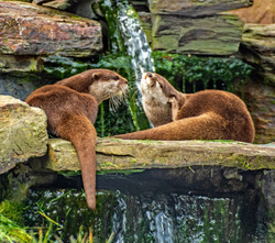 33 - Otters at rest By Dave Reed