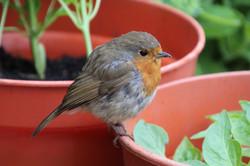 Roger Walsh; Pensive Robin
