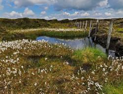 11 - Common Cottongrass, Lancashire Fells By Ray Webb