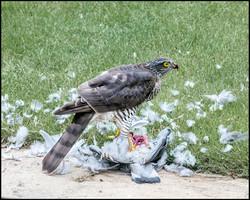 Alex Watson Sparrowhawk with prey