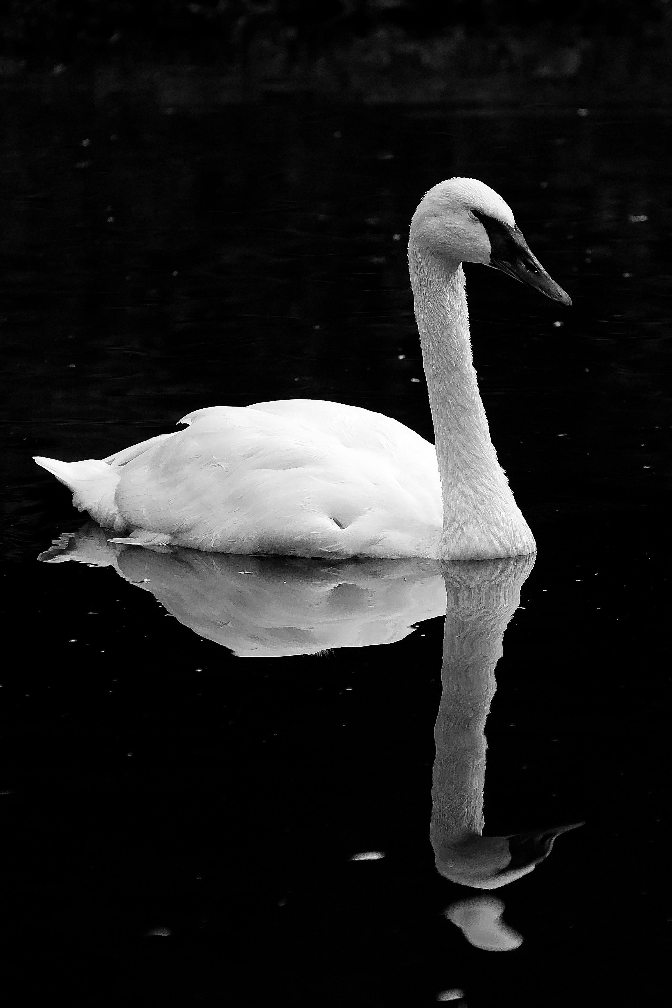 laurence lissett; swan