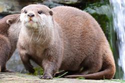 4 - Asian short leg Otter By Bernie Sulivan