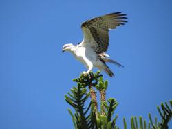 32 - Osprey landing By Bernie Sulivan