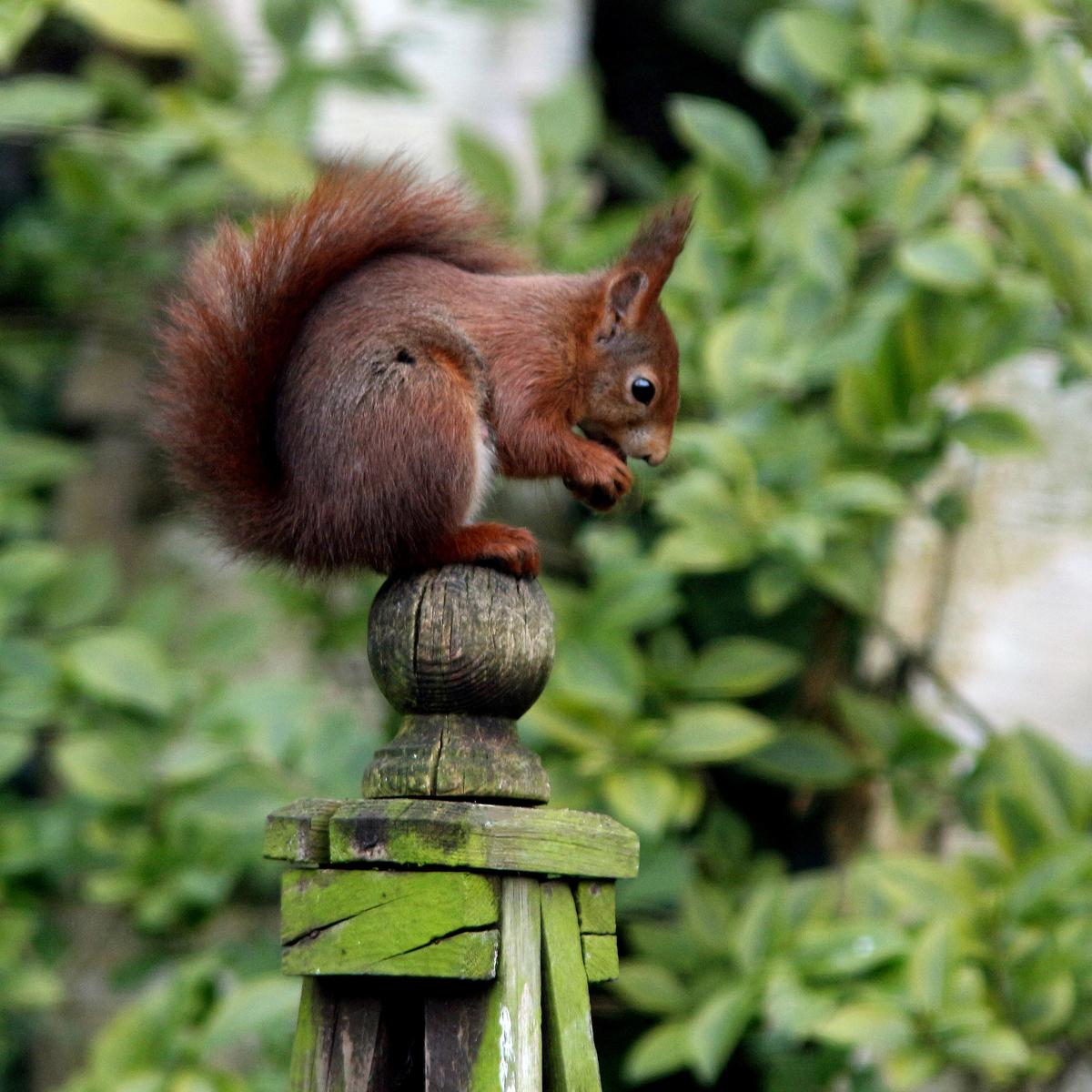 COL HC Perching Squirrel,Glynn Marsden