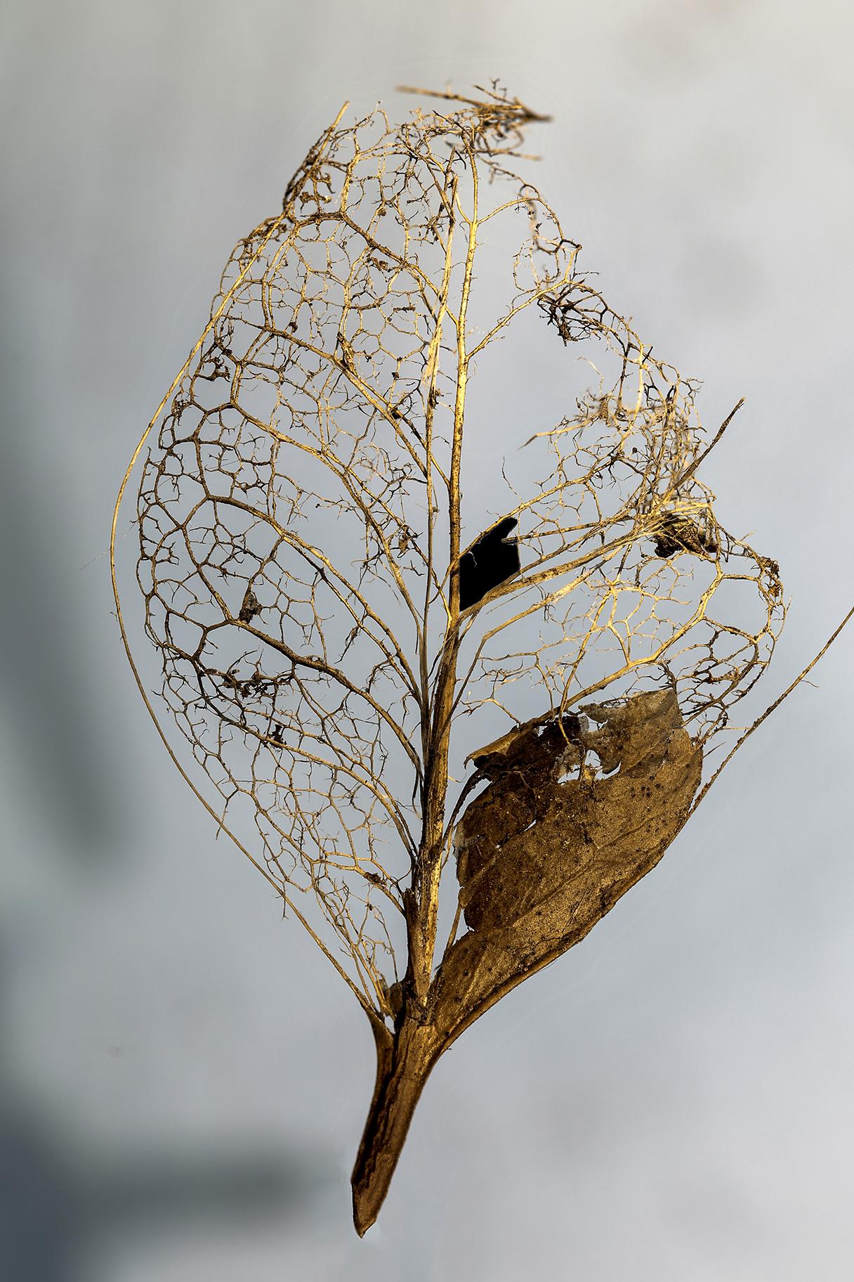 Commended DPI - Skeleton Leaf by John Cr