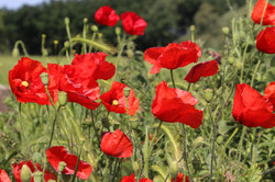 37 - Poppies in the Breeze By Roger Walsh